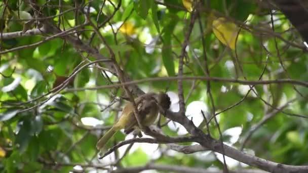Pták (pruh ušatý bulbul, Pycnonotus blanfordi) hnědá barva sedí na stromě v divoké přírodě