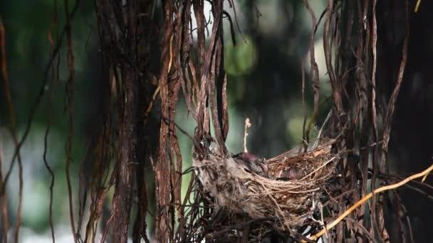 Madár (Streak bülbül, Pycnonotus blanfordi) barna színű ült a baba madár a fán, a természetben vadon élő madár fészek