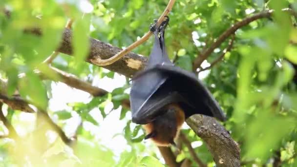 Fledermaus (Flughund, Flughund oder Pteropodidae), die in freier Natur an einem Baum hängt