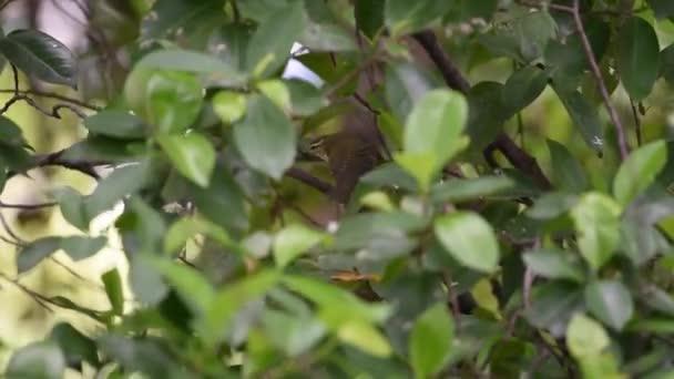 Madár (gyakori tailorbird) világos színű madár, világos zöld homloka és krémes alulról faágon a természetben vadon élő