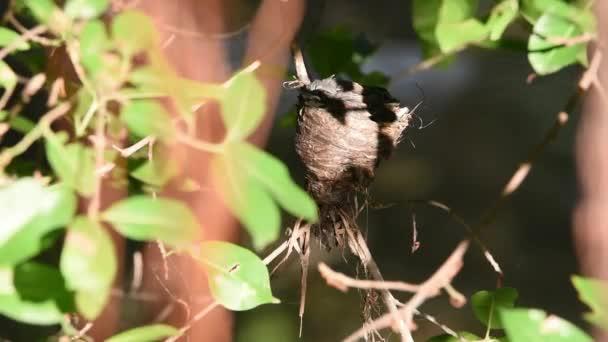 Ült, és etetése baba madár a fán, a természetben vadon élő madár (maláj Pied legyezőfarok, Rhipidura javanica) fekete-fehér szín
