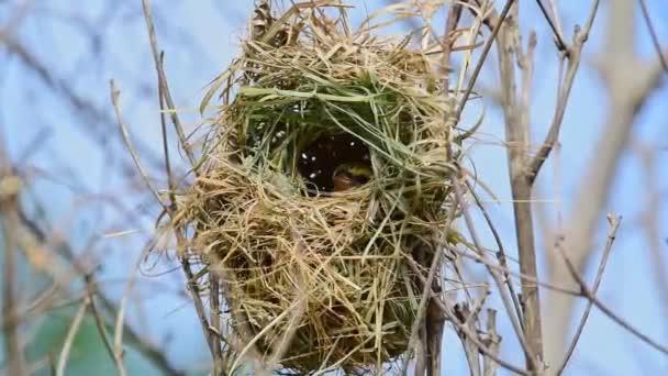 Madár (ázsiai arany-Weaver) baba vagy fiatal madár van általában okos sárga-val egy fekete maszk. A nőstények, a nem tenyészállatok és a fiatal madarak tompa színezettek egy fán vadon termő természetben