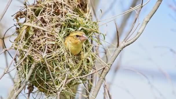 Vogel (asiatischer Goldweber) Baby oder Jungvogel ist im Allgemeinen leuchtend gelb mit einer schwarzen Maske. Weibchen, nicht brütende Männchen und Jungvögel sitzen stumpffarbig auf einem Baum in freier Natur