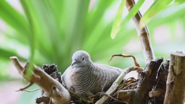Madár (galamb, galamb vagy a egyértelműsítő lap) galambok és galambok az anya madár keltetőtojások madár fészek egy fa természetvédelmi vadon