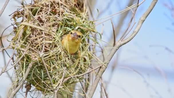 Das brütende Männchen des Vogels (asiatischer Goldweber) ist im Allgemeinen leuchtend gelb mit schwarzer Maske. Weibchen, nicht brütende Männchen und Jungvögel sitzen stumpffarbig auf einem Baum in freier Natur