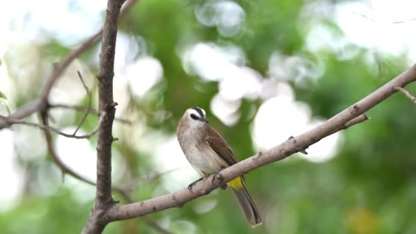 Bird (Yellow-vented Bulbul, Pycnonotus goiavier) black, yellow and brown color perched on a tree in a nature wild