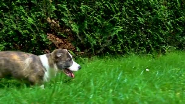 schöne braune junge Corgi-Hündin beim Gassigehen im grünen Gras, Zeitlupe
