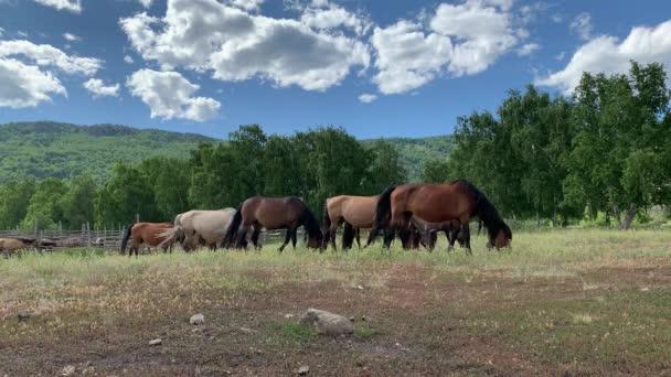 Pferdeherde auf einer Weide in einer grünen Wiese inmitten der Berggipfel. Sommer. Nutztiere. Ein niedliches Pferd hängt inmitten von Berglandschaften unter klarem Himmel