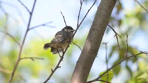 A chick of a Great tit is sitting on a branch