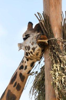 Giraffe closeup in front of the Wildlife Park Odessa Ukraine