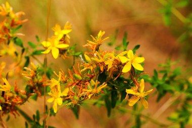 Hypericum flowers (Hypericum perforatum or St John's wort) on the meadow , selective focus on some flowers