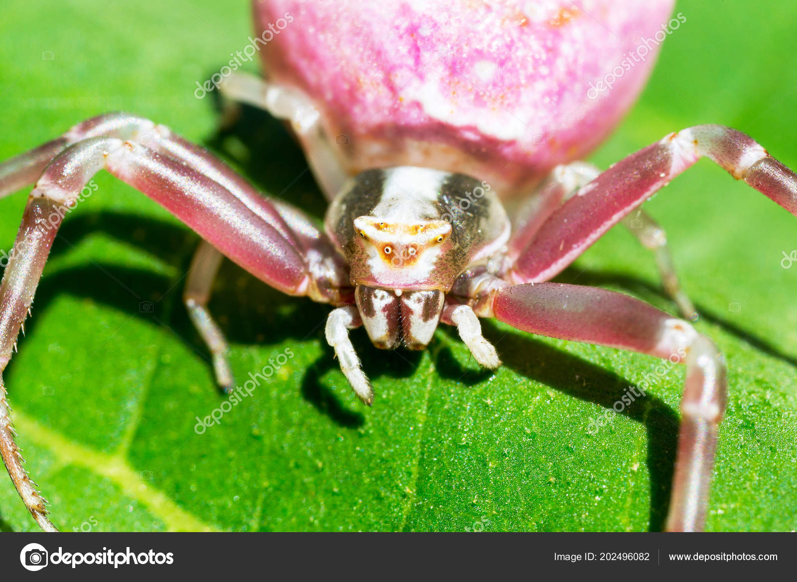 Pink Crab Spider Flower Boat Thomisidae Selective Focus Use In Macro Photography For Dummies Stock Photo