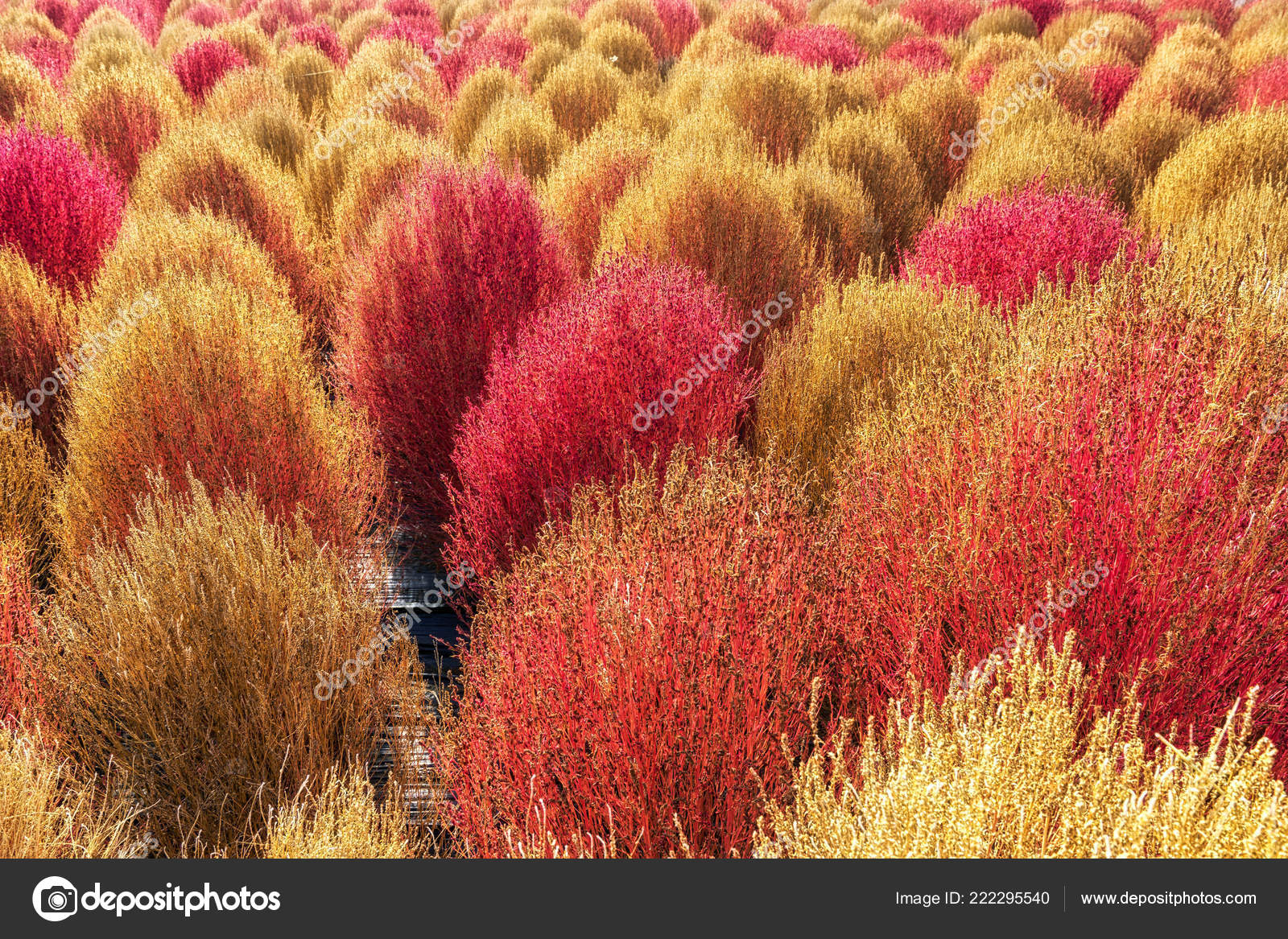 Kochia Scoparia Grass Kochia Scoparia Blooming Autumn Season