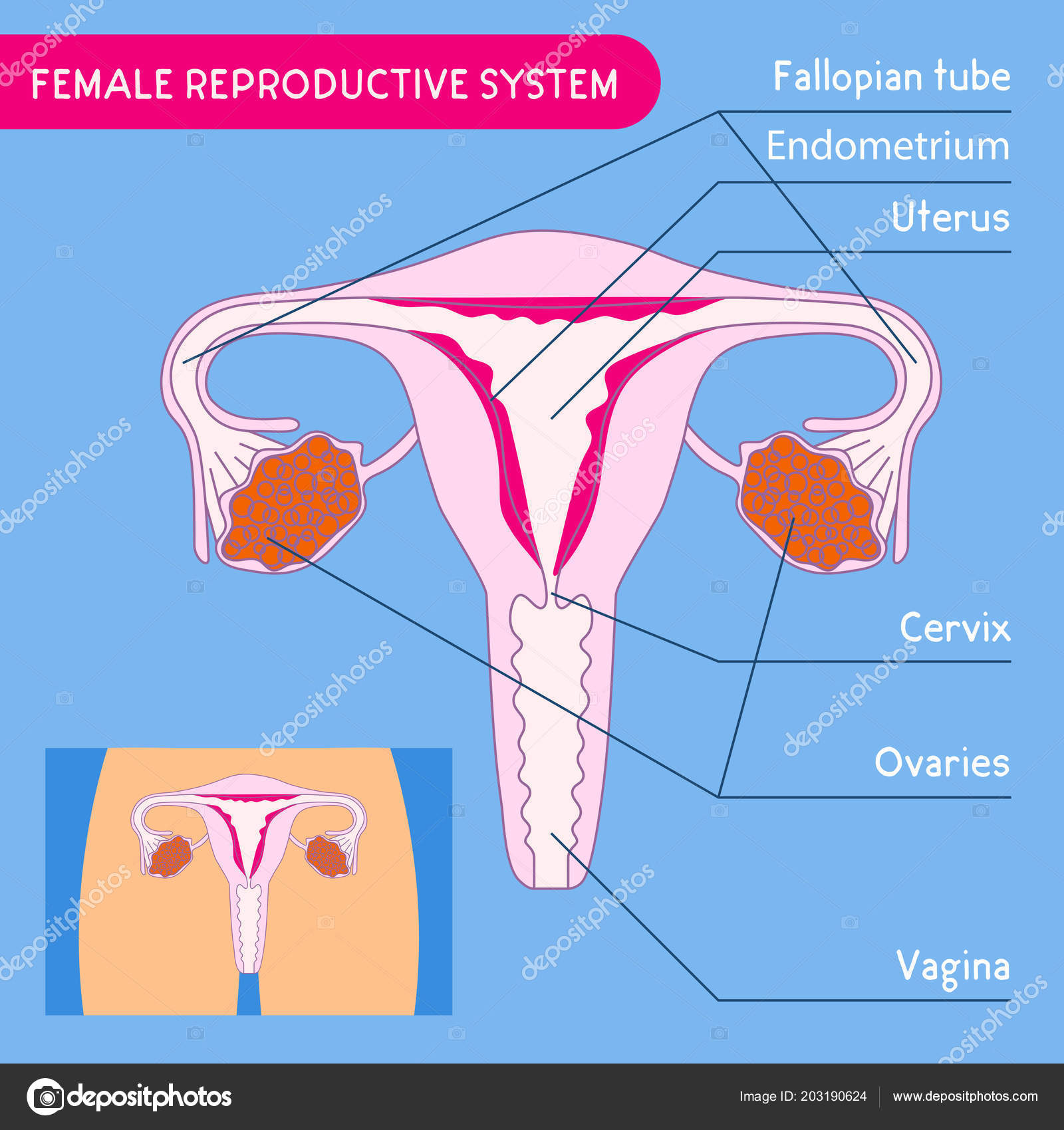 Female Reproductive System Human Anatomy Uterus Medical Poster