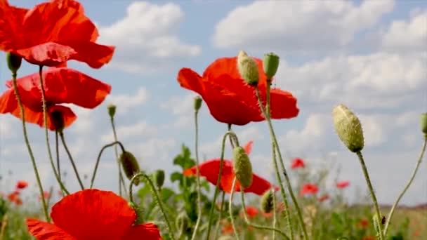 poppies that grow in a field on a warm summer day