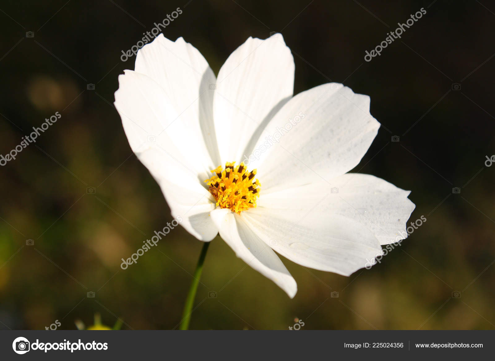 Closeup White Cosmos Flower Stock Photo Daizuoxin 225024356