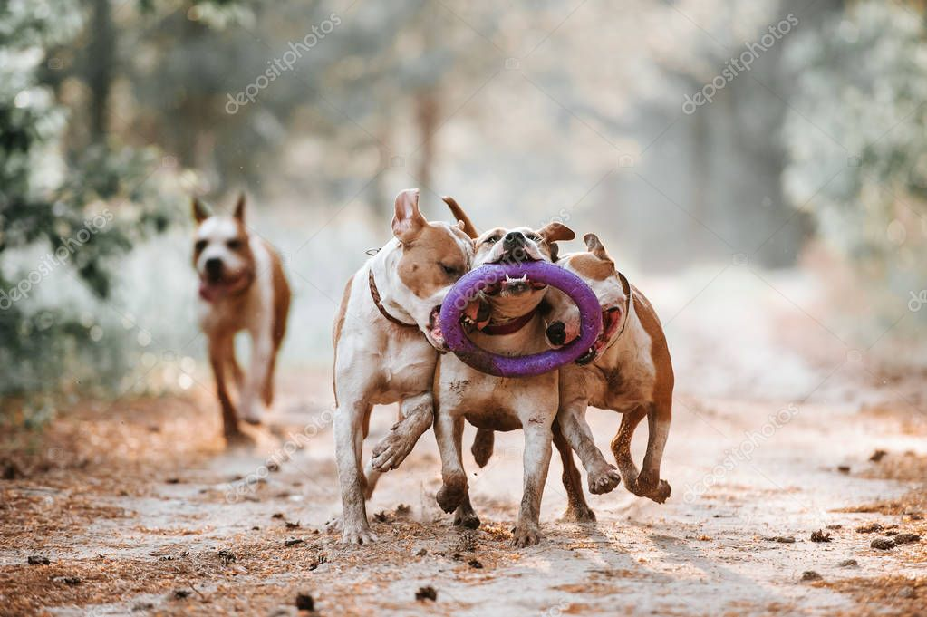 A group of dogs run in the park and play with the toy together. American Staffordshire Terrier Family