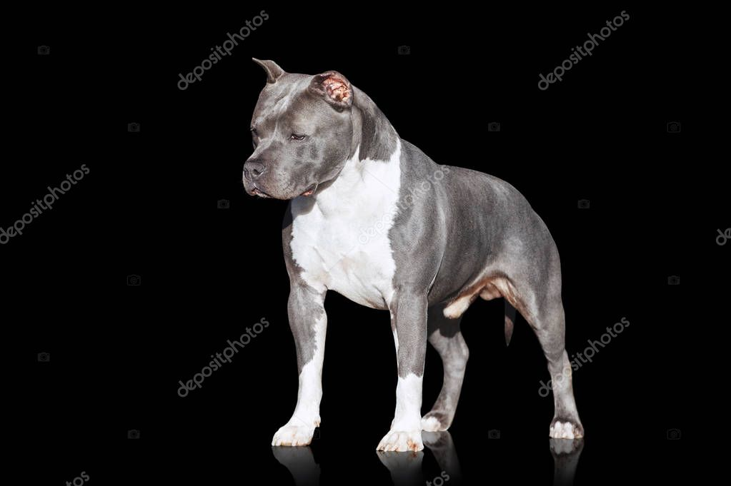 Gray muscular dog American Staffordshire Terrier breed isolated on black background