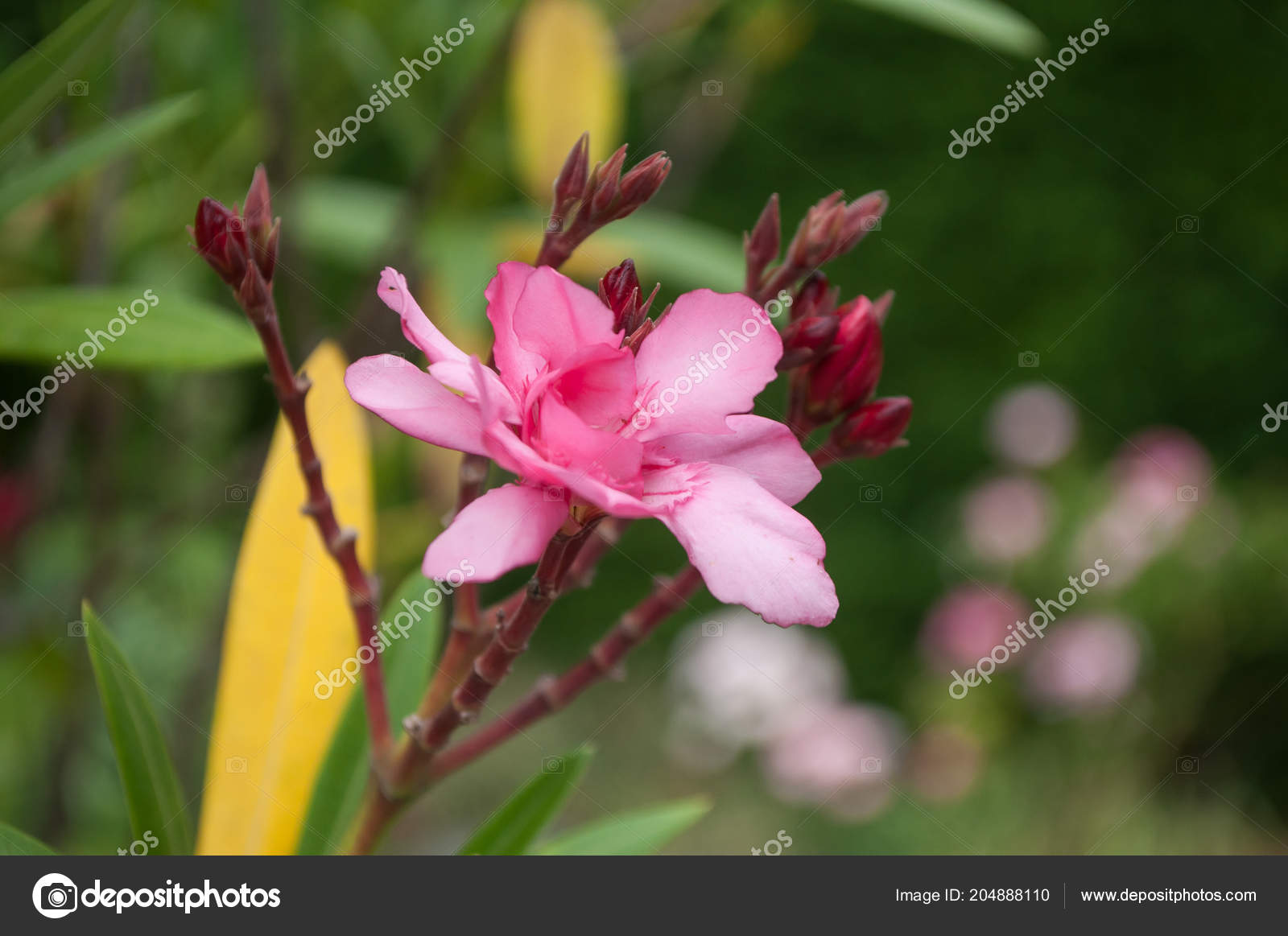 Closeup Pink Flower Oleander Garden Stock Photo Neydtstock
