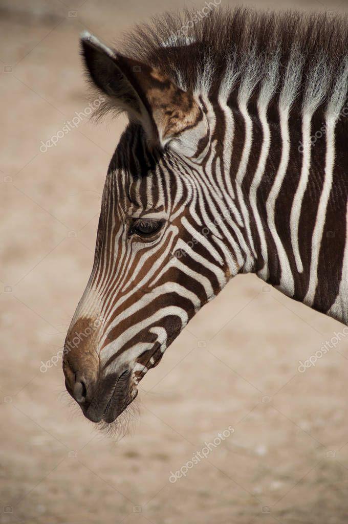 portrait of little zebra in the savannah