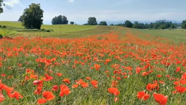 A beautiful field of red poppies swaying in the wind on beautiful meadow in Switzerland. The beauty and harmony of nature.