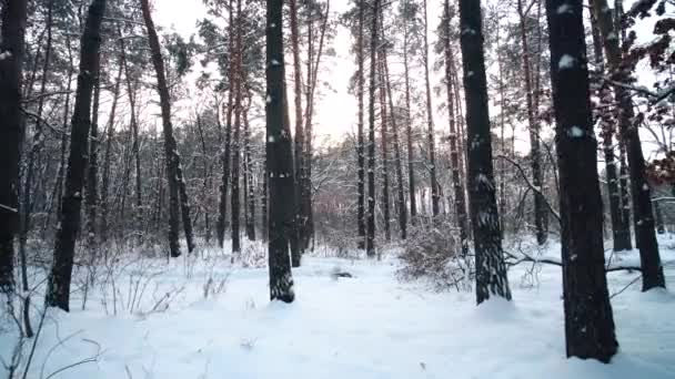 Walk through snowy coniferous pine forest in winter sunny day