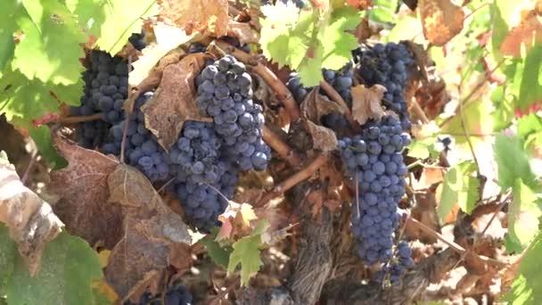 Hromádky hroznů červeného vína.
