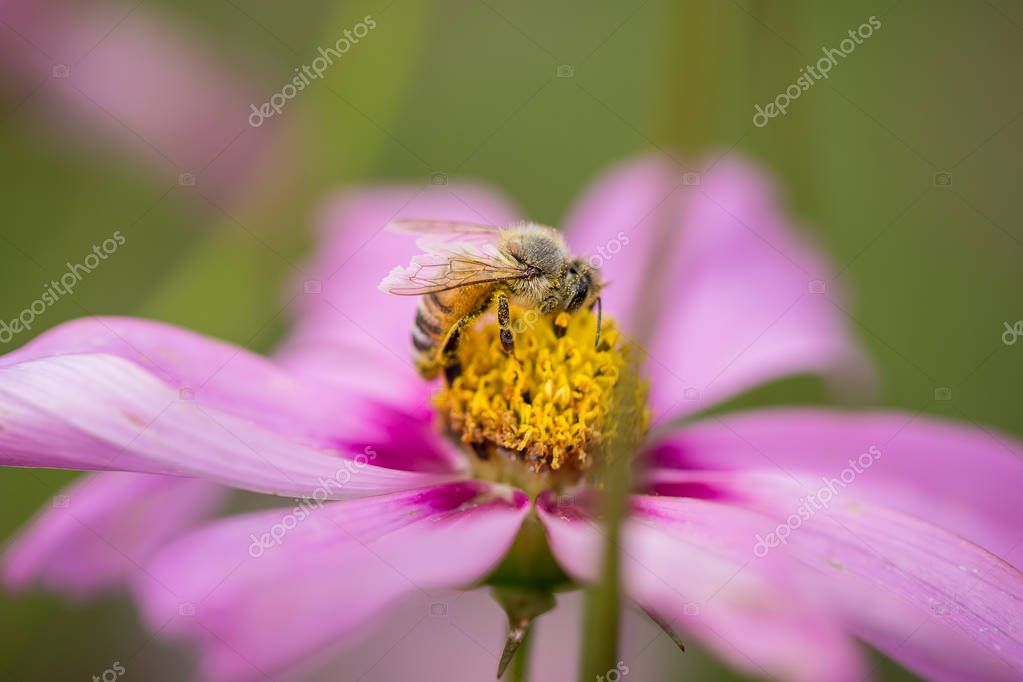 Honey Bee on Pink Flower.