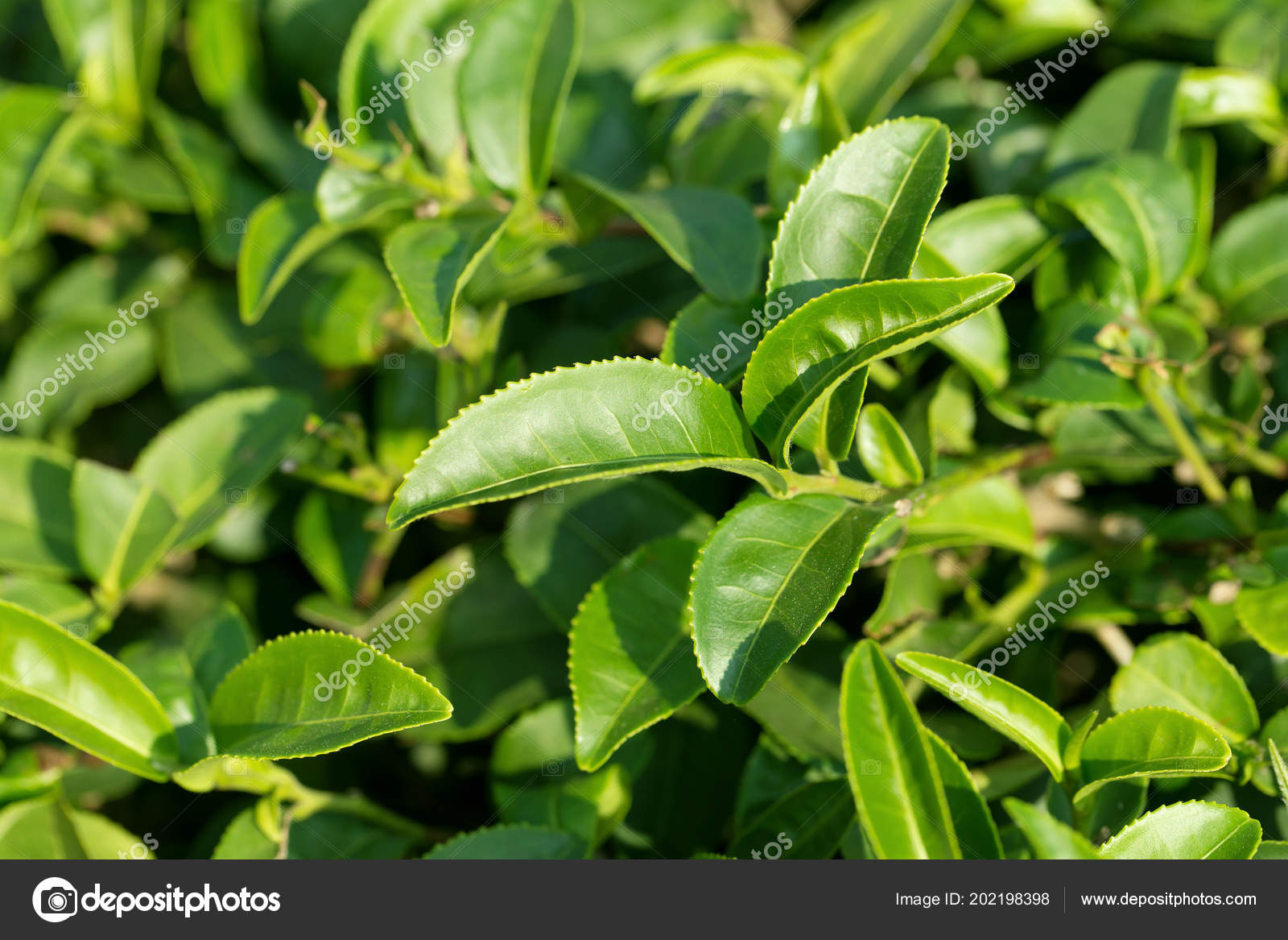 Closeup Fresh Green Tea Leaves Stock Photo C Kaiskynet Gmail Com 202198398