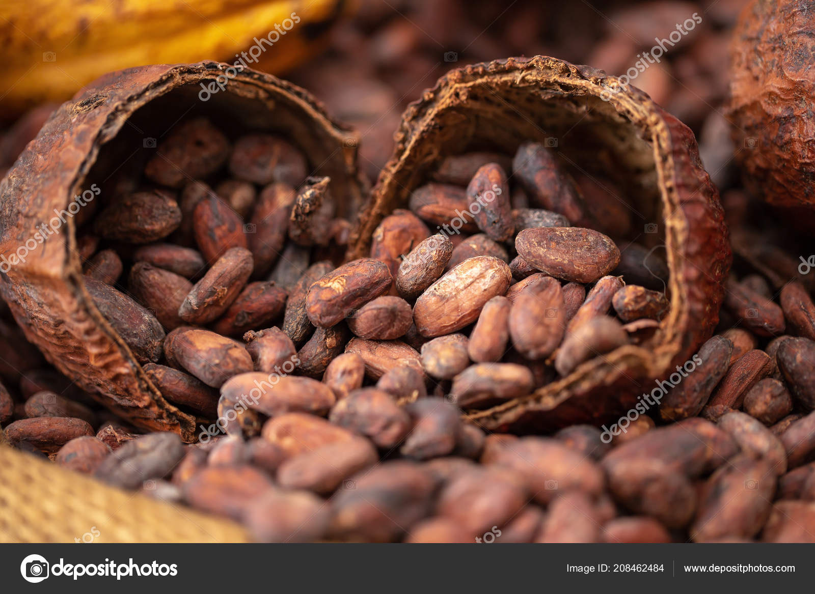 Feves Cacao Cabosse Deverse Dans Sac Toile Jute Photographie