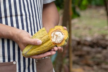 Cacao fruit, Fresh cocoa pod in hands, Cocoa pod on tree.