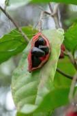 Sterculia monosperma, Thai gesztenye, piros gesztenye fa