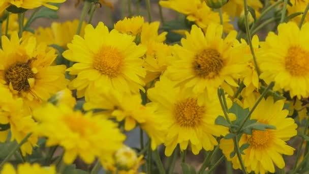 Sárga krizantém virág virágzó virágok bush