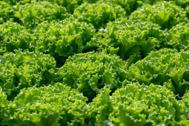 Fresh Frillice Iceberg lettuce leaves, Salads vegetable in the agricultural hydroponics farm.