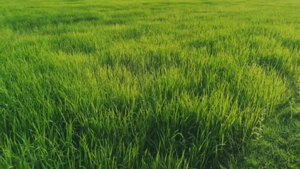 The wind blows the green rice leaf in the field