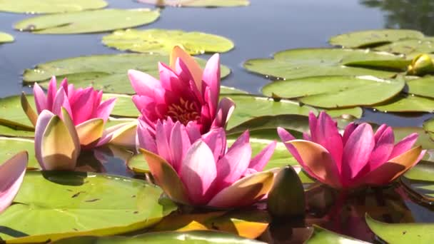 Růžové lotosy a žluté lekníny se houpají ve vlnách na jezeře, jezírku, vodě. Sluneční paprsky se odrážejí ve vodě.
