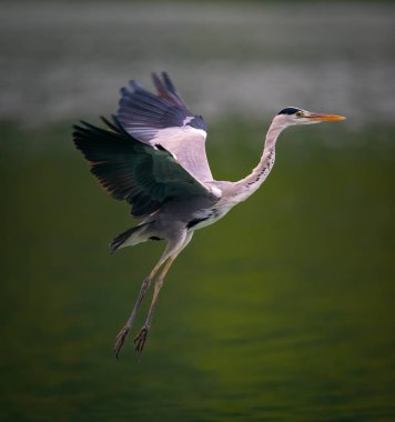 A Great Blue Heron spreading wings while flying over a pond in Taipei, Taiwan