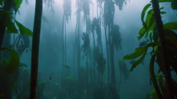 Magnificent Drifting through a kelp forest near Cape Peninsula, South Africa