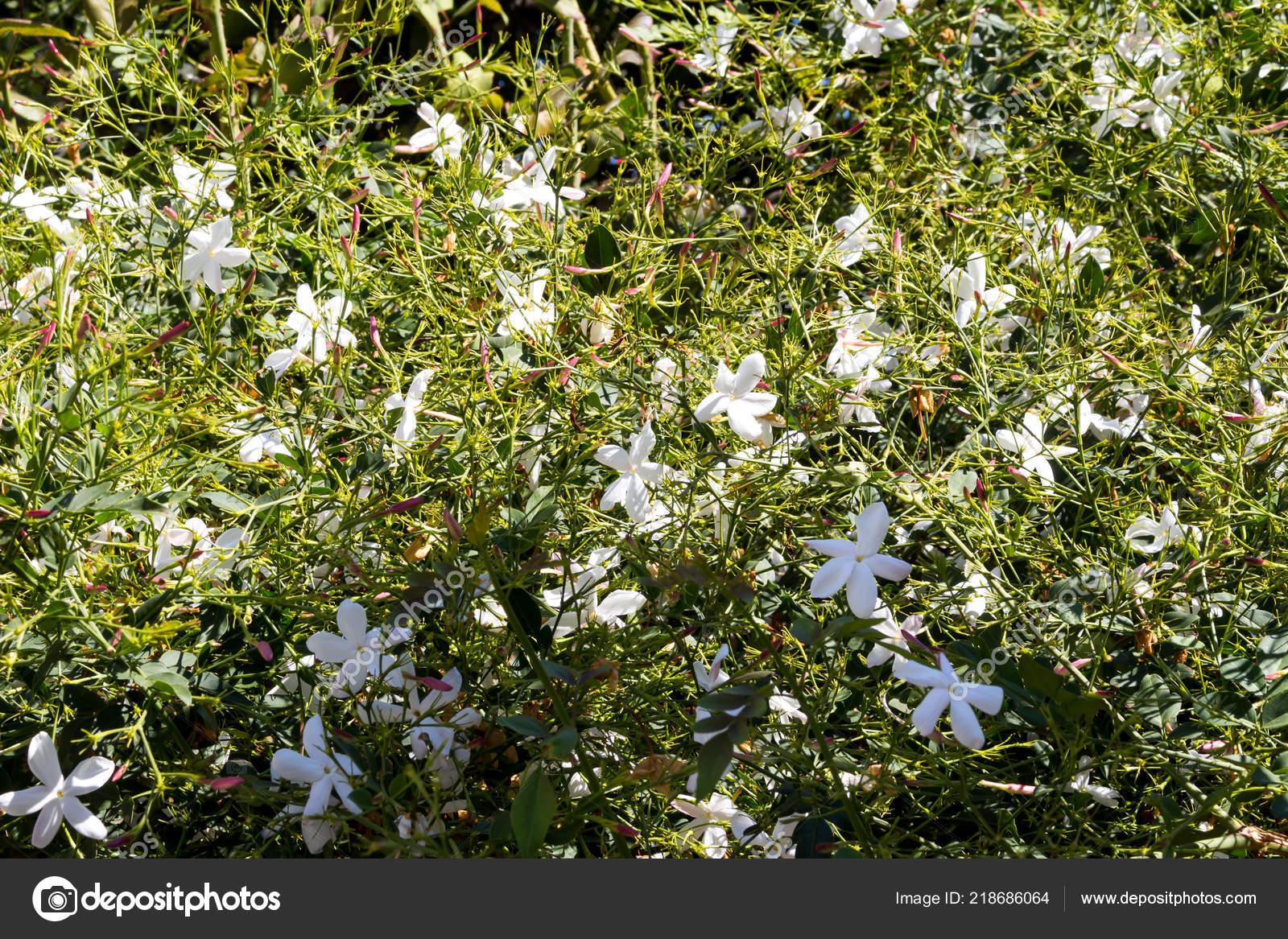 Reiche Busch Von Jasmin Garten Mit Vielen Duftenden Weißen Blüten