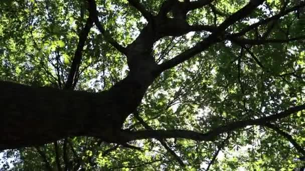 The sun shines through oak branches.Movement of the camera from side to side causes the sun to move along the branches of the tree.