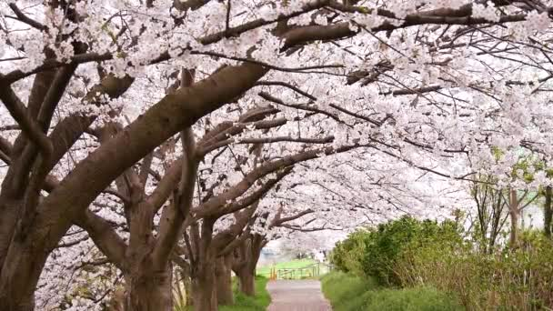 Landscape of cherry blossoms at riverside of Sagami River in Kanagawa, Japan.