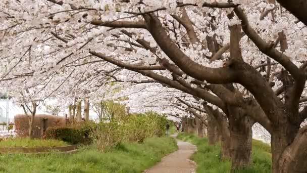 Landscape of cherry blossoms at riverside of Sagami River in Kanagawa, Japan.