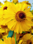 A bouquet of yellow rudbekia flowers or coneflowers close-up.