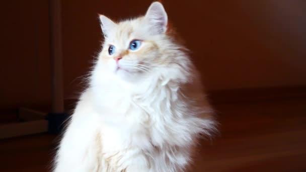 Egy csodálatos fehér macska gyönyörű kék szemekkel és vörös fülekkel ül a földön és körülnéz.