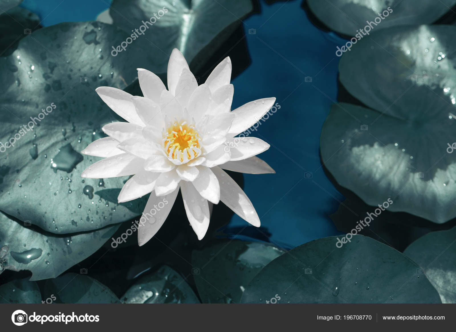 Free picture: dew, raindrop, flower, leaf, white lotus ...