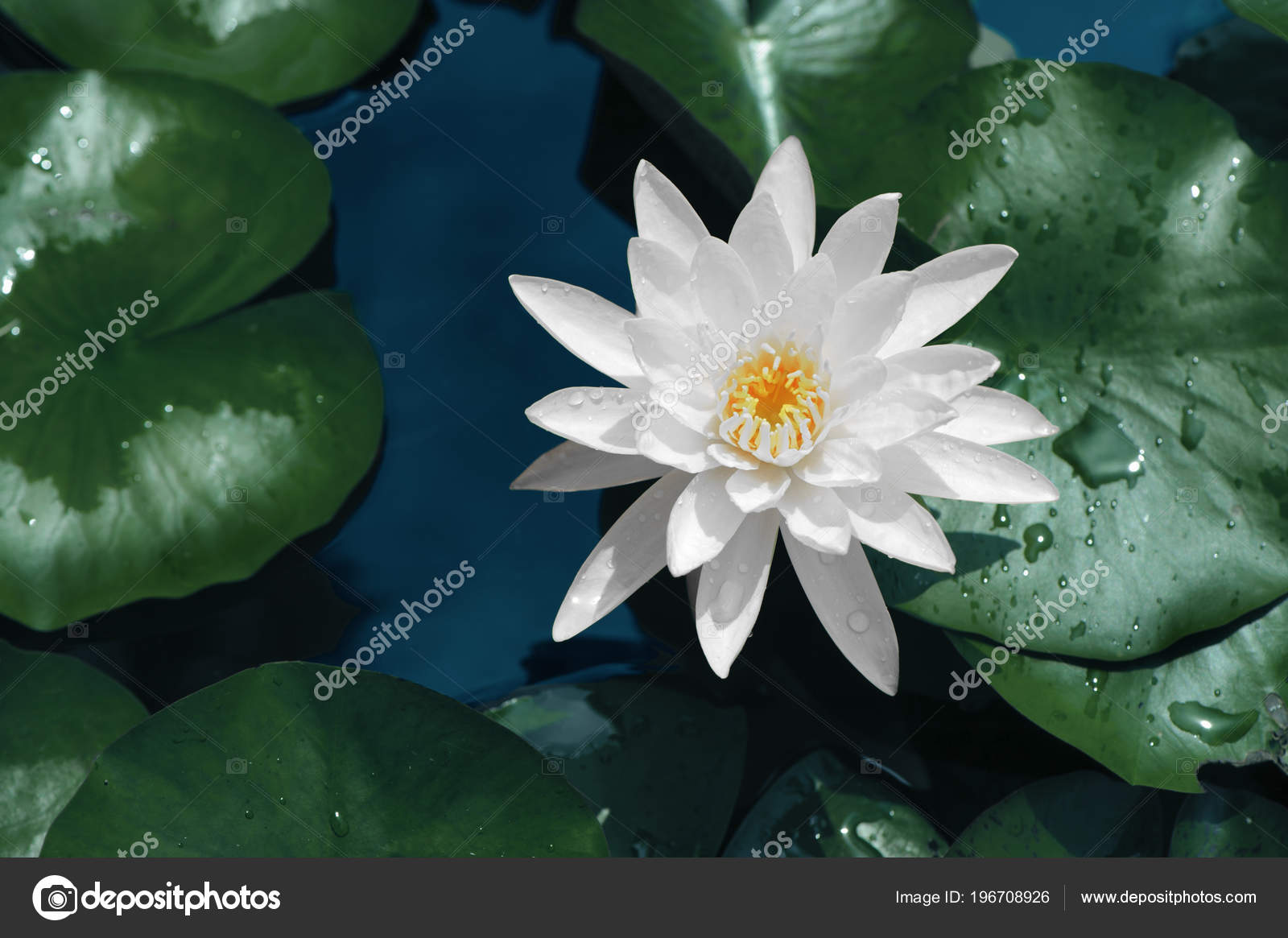 Beautiful White Lotus Flower Water Green Leaves Stock Photo
