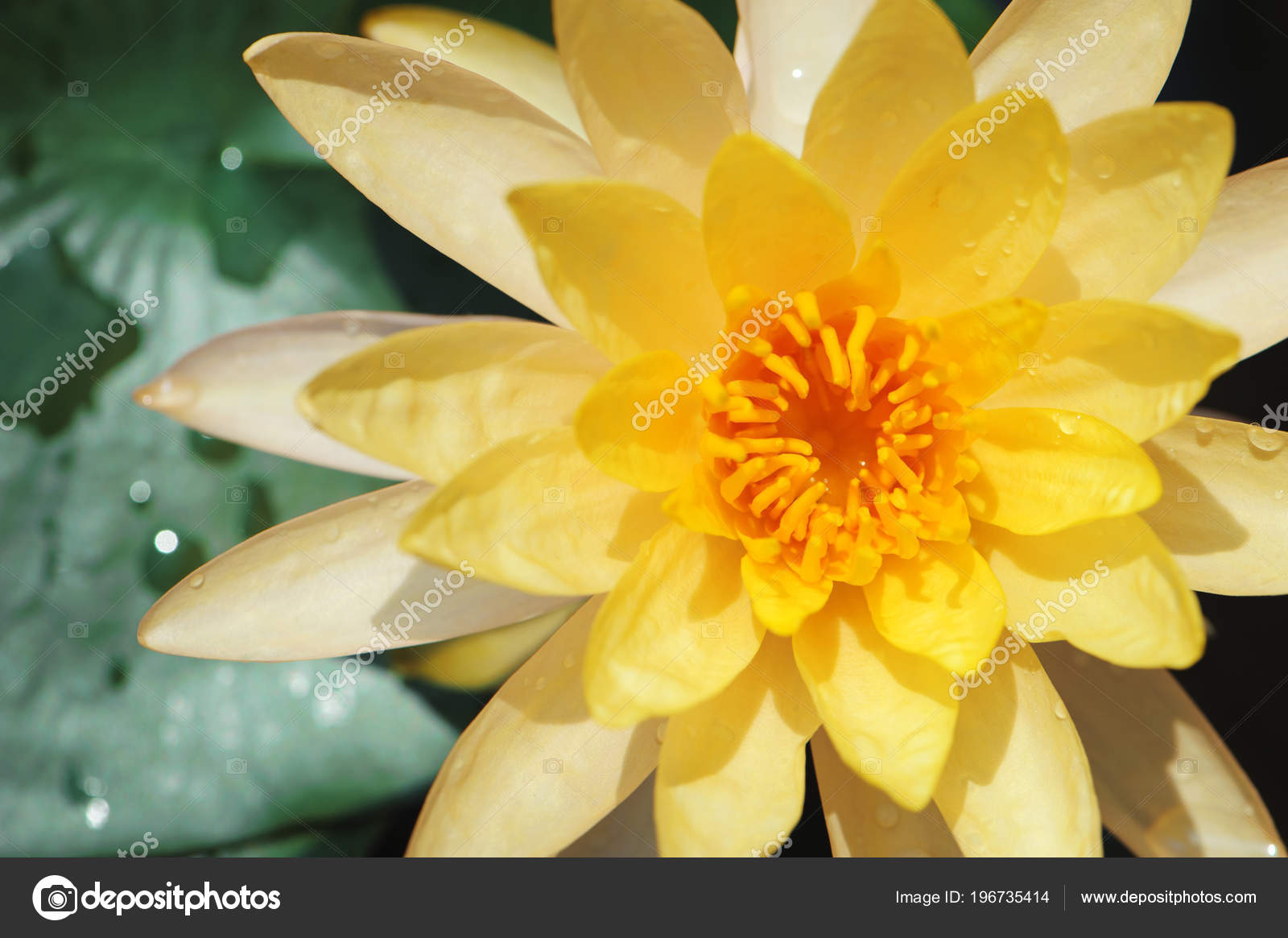 Yellow Lotus Flowers Focus Pollen Area Green Leave Stock Photo