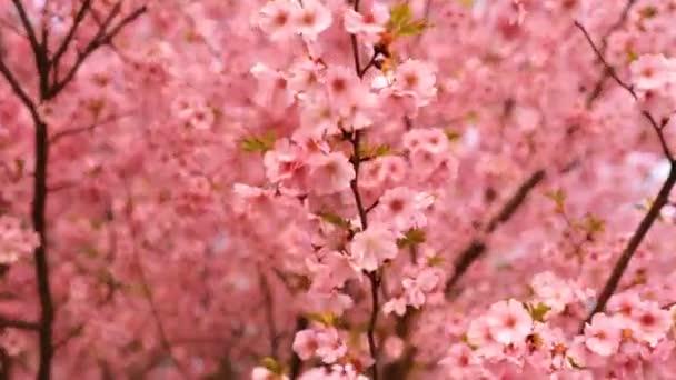 Kvetoucí stromy růžové sacura. Kvetoucí třešní.