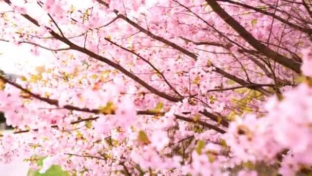 Kvetoucí stromy růžové sacura. Kvetoucí třešní
