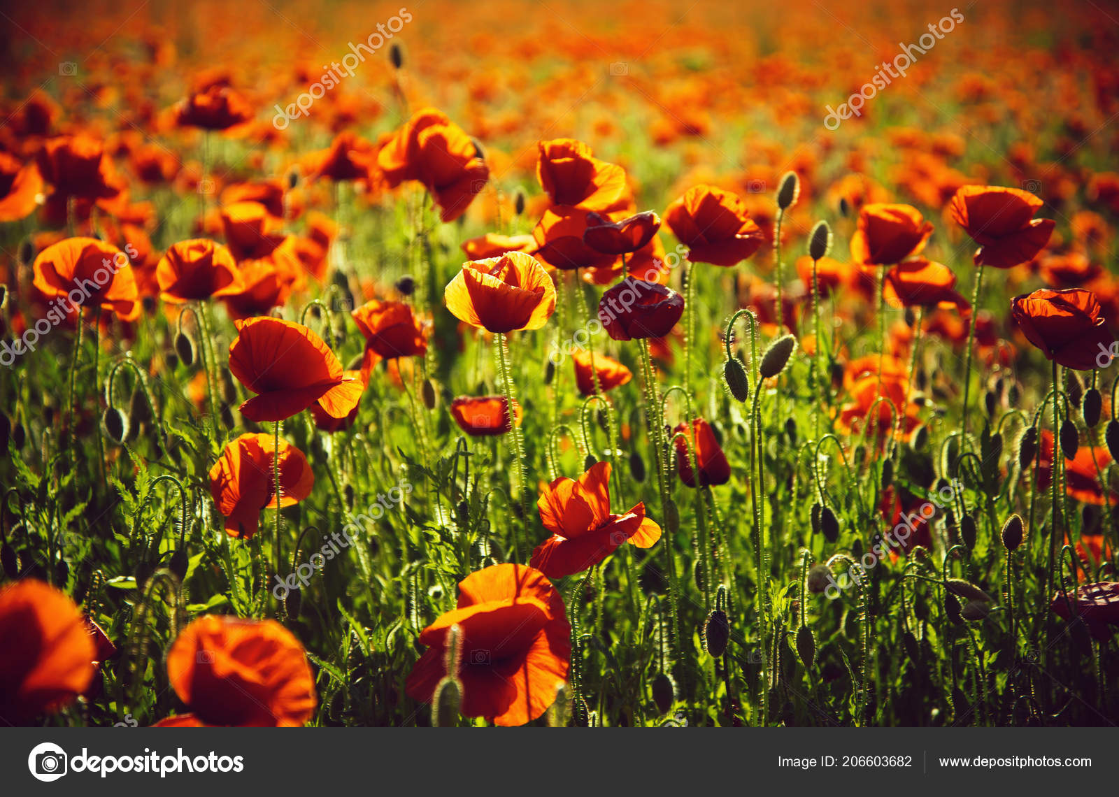 Poppy seed or red flower in field stock photo tverdohlib poppy seed or red flower in field stock photo mightylinksfo